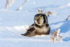 Northern Hawk Owl in snow