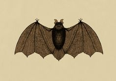 Bat zoology illustration by D.J.R.B.