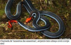 """Veneno de uma das cobras mais mortais do mundo pode servir de analgésico   Uma cobra com a maior glândula de veneno do mundo pode ser a resposta para o alívio da dor.  Chamada de """"assassina das assassinas"""", a cobra coral azul é conhecida por se alimentar de outras serpentes. Nativa do Sudeste Asiático, a predadora chega a ter 2 metros de comprimento. Seu veneno tem efeito """"quase imediato"""", causando espasmo na presa"""