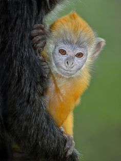 Orange is the new black A baby Silver Leaf langur clings to her mom at the San Diego Zoo