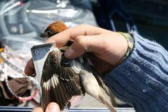 En el Humedal de Padul el día 27 se realizará un taller de anillamiento científico de aves. Se han censado más de 200 especies de aves y representa un enclave privilegiado para observarlas, gracias al anillamiento científico podemos verlas de cerca y aprender mucho sobre sus migraciones. El taller es participativo y los visitantes podrán ayudar en la anotación de datos. Infórmate en: 958 340 625 / 657 279 898 / elaguadero@gmail.com