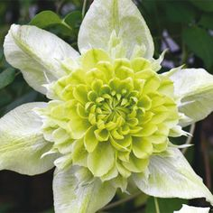 Clematis 'Peppermint'