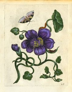 Merian Large Botanical Print, collection of large giclee botanical prints, framed in either thin gold leaf frame or Italian black with gold lip. Made in USA Vintage Botanical Prints, Botanical Art, Merian, Butterfly Painting, Decorating With Pictures, Unique Wall Art, Purple Flowers, Vintage Posters, Flower Art