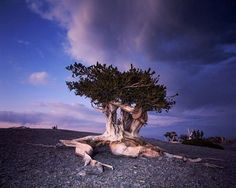 Bristlecone pine tree in Great Basin National Park, Nevada.
