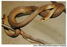 Boomslang Venomous Snake   POISONOUS SNAKES OF AFRICA AND ASIA