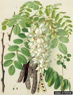 A faj kettős latin neve: Robinia pseudoacacia Magyar név: fehérakác Család: Fabaceae   Alcsalád: Faboideae  Rend: Fabales Életforma: MM Termés: hüvely