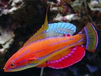 Clown Fairy Wrasse | Looking for a hardy orange reef-safe fish - Reef Central Online ...