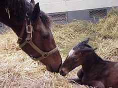 Foal Behavior After Birth The foal will usually stand within 30 minutes, typically after several failed attempts. As soon as it is steady...