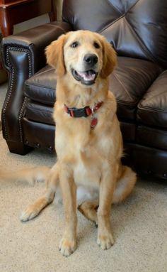 Adopt Chill On Golden Retriever Rescue Dogs Golden Retriever