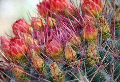 'Red Thorns' by Lisa S. Baker #thorns #cactus #blooms #flowers #photography