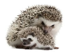 Google Image Result for http://www.petwatch.net/writable/pet_report_photos/photo/480x/african_pygmy_hedgehog_2.jpg