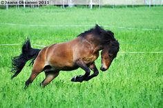 If the non-Finnish horse fans wonder the odd-sounding names of Finnhorses, the reason is that Hippos, the Finnhorse registry accepts only Finnish or Swedish names for Finnhorses. English or other languages are not accepted. Pretty Horses, Horse Love, Beautiful Horses, Pony Breeds, Horse Breeds, Black Australian Shepherd, Swedish Names, Leopard Appaloosa, Horse Information