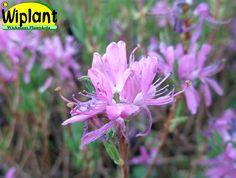 Rhododendron canadense 'Violetta', Azalea. Höjd: 0,5-1 m. Zon V.