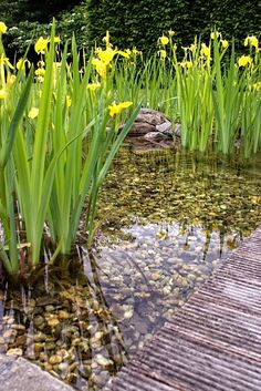Swimpond plants. zwemvijver - Schoten SV