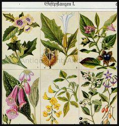 Poison Plants Medicinal Plants Antique Botanical Print.