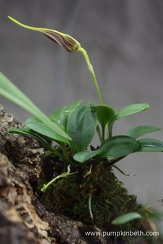 My Masdevallia decumana as pictured on the 28th February 2016.  This miniature orchid currently has one large flower bud that you can clearly see in this photograph, and two smaller flower buds, which aren't so easy to spot.