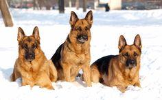 pictures of dog breeds | shepherd dog breeds wallpaper desktop background | Funny and Cute ...
