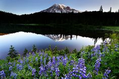 Chung Hu's Picture - Bluebonnet and Reflection Lake at Mount Rainier National Park