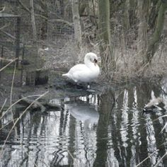 Swan at the Wildfowl & Wetlands Trust in London, England