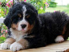 Bernese mountain dog *