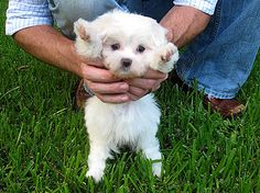 Aw baby snowy .. Maltese puppies are the cutest