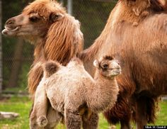 Bulgan isn't even a month old, and already he's competing for cutest animal at the Detroit Zoo.  The Bactrian camel calf was born to mom Suren and father Rusty, both four-year-olds, on April 28 at the zoo in Royal Oak, Mich. He's spending his days in the camel habitat with his parents and the zoo's fourth camel, 16-year-old Princess.