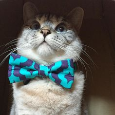 New bow ties and bandanas available online. Use coupon... Follow us on Instagram :D #cats #cat #catlover #lovecats #funny #fun #cute #socute #feline #felines #felinefriend #fur #furry #paw #paws #kitten #kitty #kittens #kittycat #kittylove #fluffy #fluff