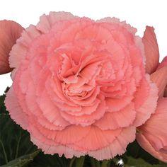 Pink Ruffled Begonia Seed