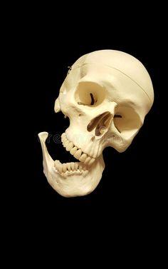 Halloween Mural, Skull Reference, Skull Logo, Human Skull, Skull And Bones, Human Anatomy, Memento Mori, Skeletons, Aperture