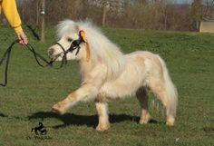 Bordjack - hotteaandoranges: possit-de-tenebris: ... Most Beautiful Horses, Pretty Horses, Horse Love, Animals Beautiful, Tiny Horses, Horses And Dogs, Cute Funny Animals, Cute Baby Animals, Miniature Ponies