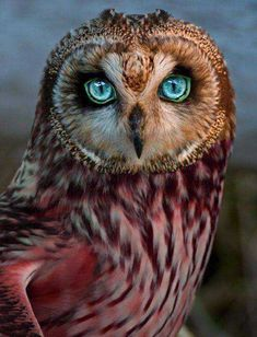 """Some truly unique colorful owls! Owl Photos, Owl Pictures, Exotic Birds, Colorful Birds, Colorful Animals, Beautiful Owl, Animals Beautiful, Beautiful Life, Rare Animals"