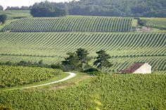 Beau vignoble charentais - Le sud de la Charente-Maritime est principalement constitué de vignes pour la réalisation du Pineau des Charentes | Pays de Haute Saintonge Charente-Maritime Tourisme #charentemaritime | © Jacques Villégier
