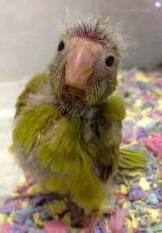#kakariki #parrot at 5 weeks old