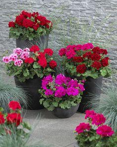 Muškáty • zahradní dekorace