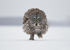 Great Grey Owl - Stalking Me! by Rick Dobson on 500px