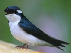 Birds: Swallows, Including Barn Swallow and Tree Swallow Tree Swallow, Barn Swallow, Pretty Birds, Beautiful Birds, Animals And Pets, Funny Animals, Odd Animals, Strange Animals, Bluebirds