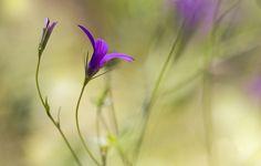 Обои картинки фото цветок, сиреневый, бутон, фон
