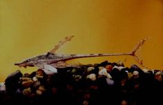 Peces para acuario, Sturisoma panamense