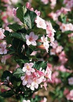 Must-have shrub for your garden: Wine & Roses Weigela- 'Wine & Roses' is a medium-size shrub with big impact. The dark purple foliage looks great from spring to fall and is decorated by pink flowers in spring and summer. Size: To 5 feet tall, 6 feet