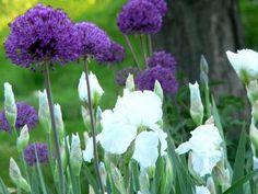 White iris and Globemaster Allium