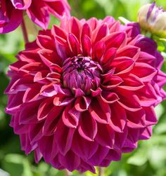 Dahlia 'Diva' can leave no one untouched! It makes quite an impression with its profuse and perfectly formed, rich raspberry to dark purple flowers. The fully double flowers, up to in. wide cm), are borne on very long stems and are perfect for cutting. Dark Purple Flowers, Purple Dahlia, Colorful Flowers, Beautiful Flowers, Dahlia Flower Tattoos, Dahlia Flowers, Summer Bulbs, Growing Dahlias, Cut Flower Garden