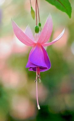 Fuchsia.. | Flickr - Photo by shinichiro*