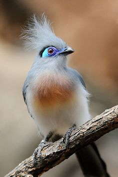 The Crested Coua is found in Madagascar.