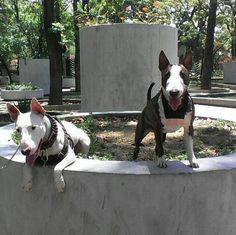 The Bull Terrier Dogs, dog-breed information