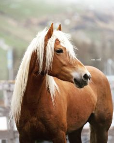 ~ pm to join ~ character page : Horses And Dogs, Cute Horses, Wild Horses, Palamino Horse, Haflinger Horse, Most Beautiful Horses, Animals Beautiful, All The Pretty Horses, Horse Photos