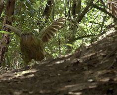 """天啊超級感謝復育人員!!! 原文如下: 鴞鸚鵡(Kakapo)是紐西蘭的特有種 是世界上唯一一種不會飛的鸚鵡 在原住民毛利人心目中非常尊貴 但也因為紐西蘭沒有天敵 他們漸漸失去了飛行的能力 鴞鸚鵡已經屬於瀕危物種了,現在世界僅存124隻... 但在前陣子,保育員發現母鳥""""麗莎(Lisa)""""的鳥巢中,有顆蛋嚴重碎裂了! 瀕危物種的蛋碎了可是大事啊!! 於是保育員Jo Ledington就用膠水和膠帶搶救 將碎裂的蛋殼像拼圖般一一黏合和固定 據說黏鳥蛋花了好幾個小時,心驚膽顫,怕一個用力蛋就徹底碎掉了... 雖然修復了,但也不知道裡面的小生命還能不能出生。 但好不容易,在大家焦慮和興奮的目光中 """"麗莎一號(Lisa One)""""孵化了! 復育計畫的主管史考特(Deidre Vercoe Scott)表示超開心當初復育人員不放棄 因為她精心修復蛋殼..."""