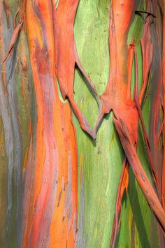 Rainbow Eucalyptus Tree Bark ✞When through the woods, and forest glades I wander, And hear the birds sing sweetly in the trees. When I look down, from lofty mountain grandeur And see the brook, and feel the gentle breeze. Patterns In Nature, Textures Patterns, Rainbow Eucalyptus Tree, Dame Nature, Nature Tree, Tree Bark, Texture Art, Belle Photo, Painting Inspiration