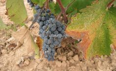 Yeclas is one of the wine producing areas of Murcia, enjoy the scenery and stop at any of the many bodegas to sample and buy some of the locally produce wine. Murcia, Days Out, Tour Guide, Where To Go, Travel Guide, Euro, Costa, Vineyard, Scenery