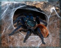 Wants... Chromatopelma cyaneopubescens, Green Bottle Blue