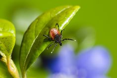 Learn more about AONM and Armin Labs, the forefront of tick-borne research, testing for diagnosing and treating Lyme disease and other infections. Get Rid Of Ticks, Tick Bite, Lyme Disease, I Am Bad, Tea Tree Oil, How To Get Rid, Plant Leaves, Medical, Stock Photos